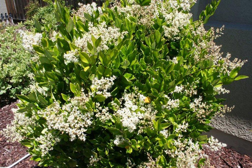 Troène : planter et tailler – Ooreka