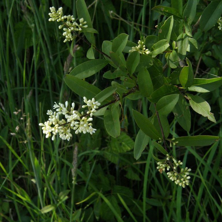 Variétés de grande taille Troène commun ou d'Europe (Ligustrum vulgare)