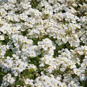 Arabis planter et entretenir ooreka for Ou acheter plante
