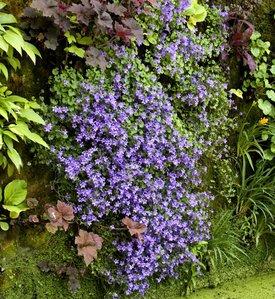 Campanule planter et entretenir comprendrechoisir - Planter campanule des murs ...