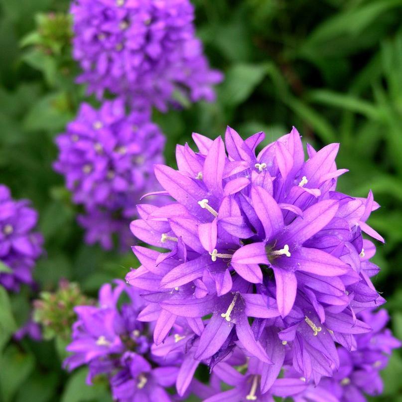 Vivace Campanule à bouquets (Campanula glomerata)