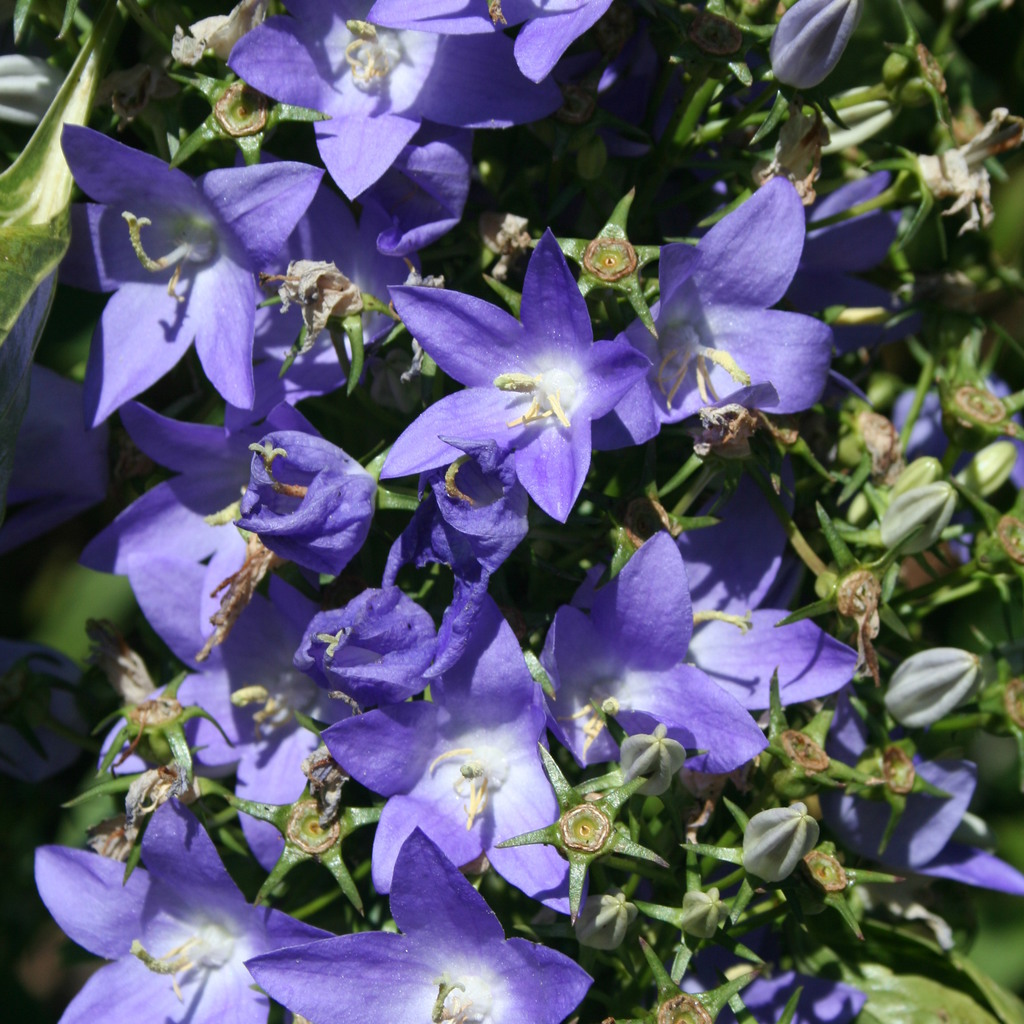 Bisannuelle Campanule pyramidale (Campanula pyramidalis)