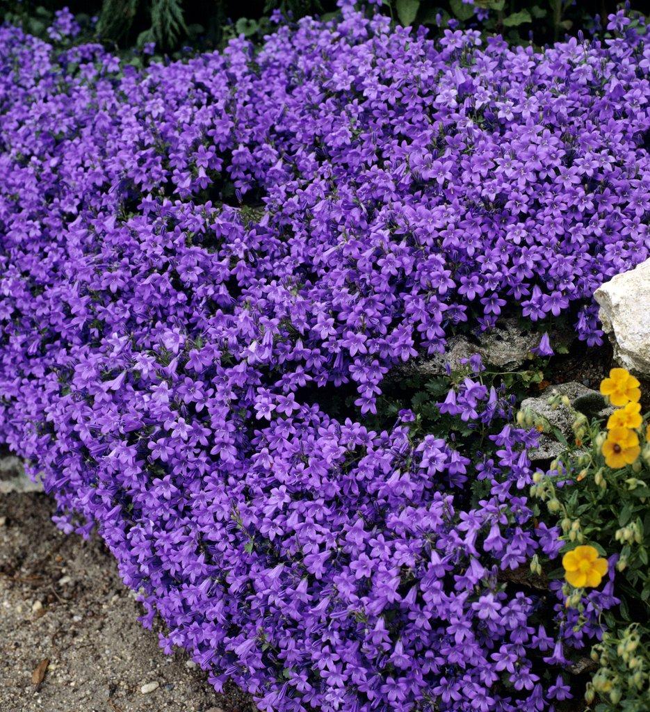 Plantes vivaces pour jardinieres exterieures - Pourpier vivace en jardiniere ...