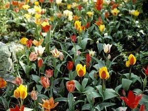 Culture et entretien de la tulipe