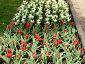 comment planter tulipes