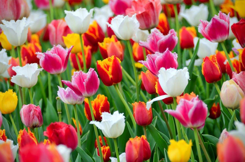 Résultats de recherche d'images pour «tulipe»