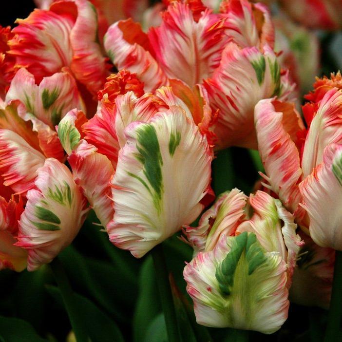 Tulipes horticoles Tulipe perroquet