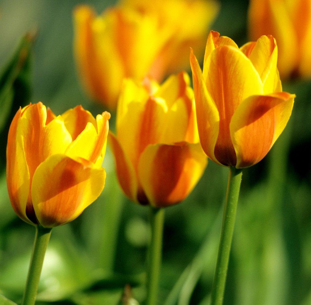 tulipe hybride