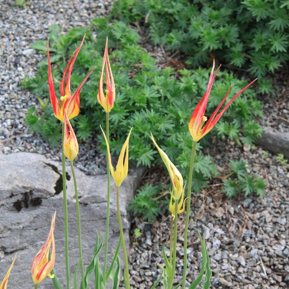 Tulipes «botaniques» Tulipa acuminata