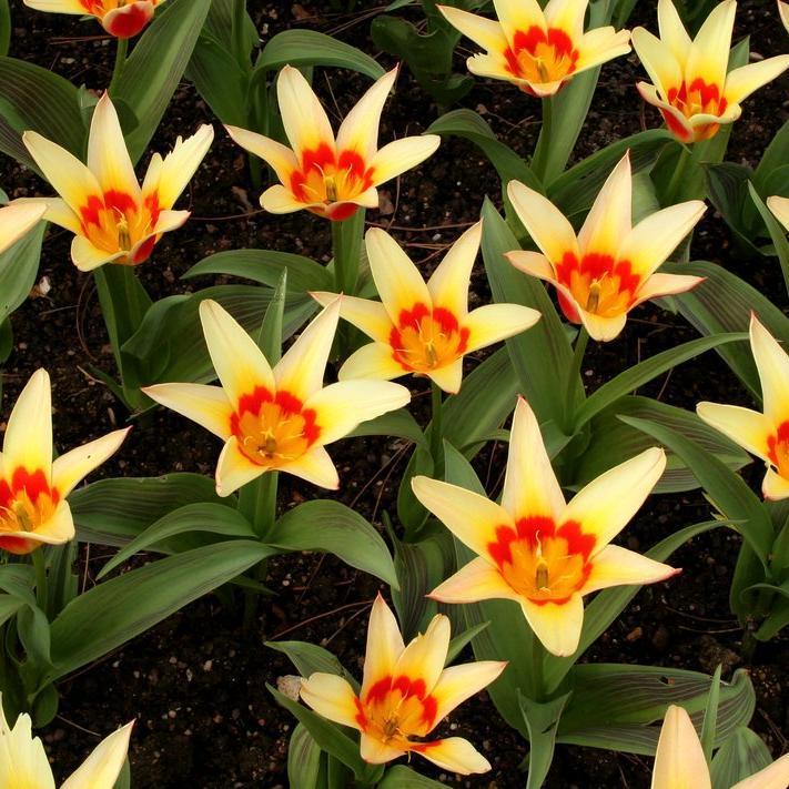 tulipe planter et cultiver ooreka. Black Bedroom Furniture Sets. Home Design Ideas