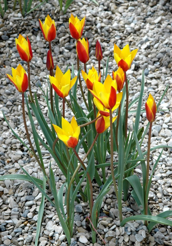 Tulipe : planter et cultiver - Ooreka