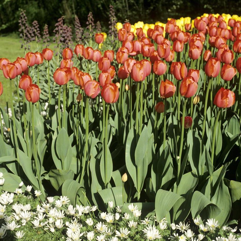 Tulipes horticoles Tulipe hybride de Darwin