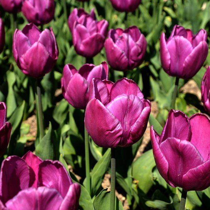 Tulipes «botaniques» Tulipe de Gesner (Tulipa gesneriana)