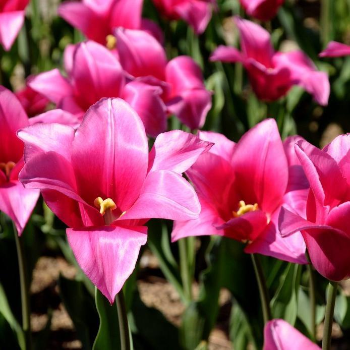 Tulipes horticoles Tulipe Triomphe