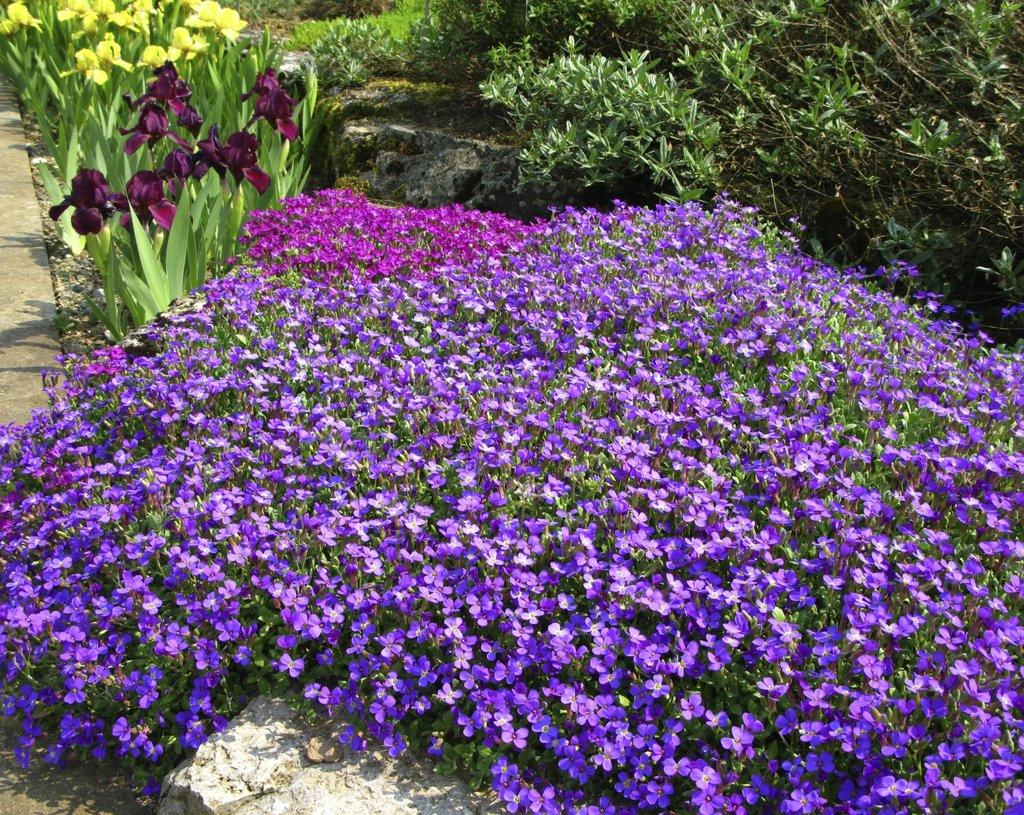 Aubri te planter et cultiver ooreka for Entretien plantes vivaces