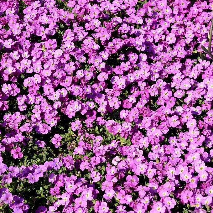 Aubriète deltoïde (Aubrieta deltoidea) Une grande quantité d'hybrides sont vendus sous ce nom.
