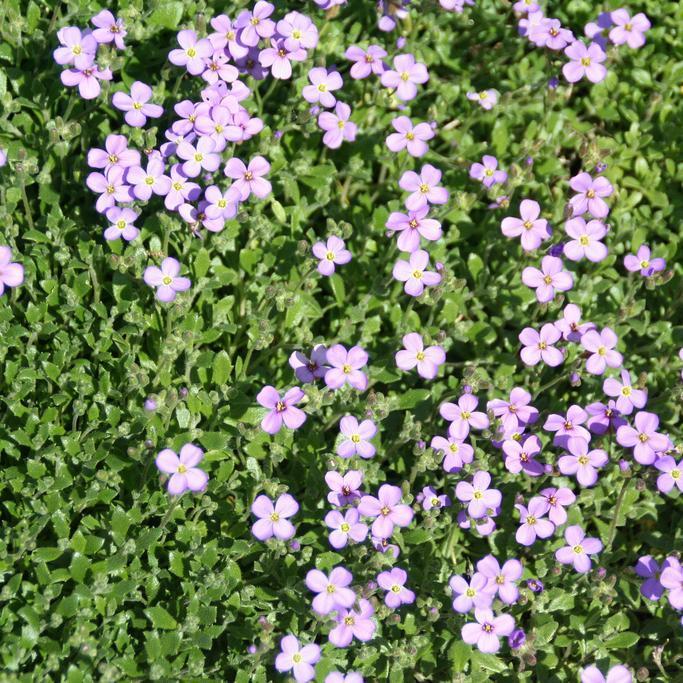 Aubriète gracile (Aubrieta gracilis) On trouve souvent la variété Kitte®