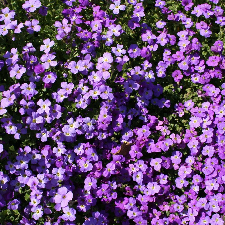 Aubriètes hybrides Superbissima