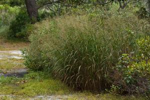 Plantation du <em>Panicum virgatum</em>
