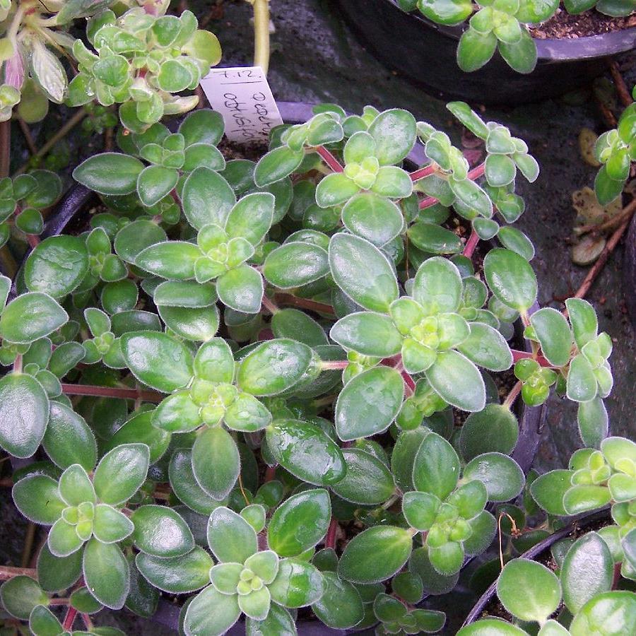 Pourpier des bois (Peperomia obtusifolia)