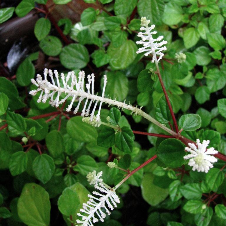 Peperomia fraseri ou resediflora