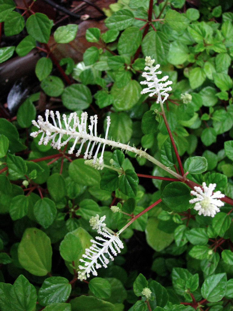peperomia   planter et cultiver  u2013 ooreka