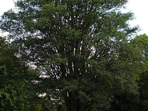 Plantation du zelkova
