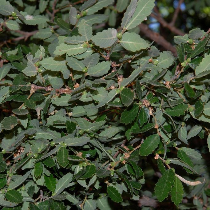 Zelkova abelicea (syn. Z.cretica) Espèce type.