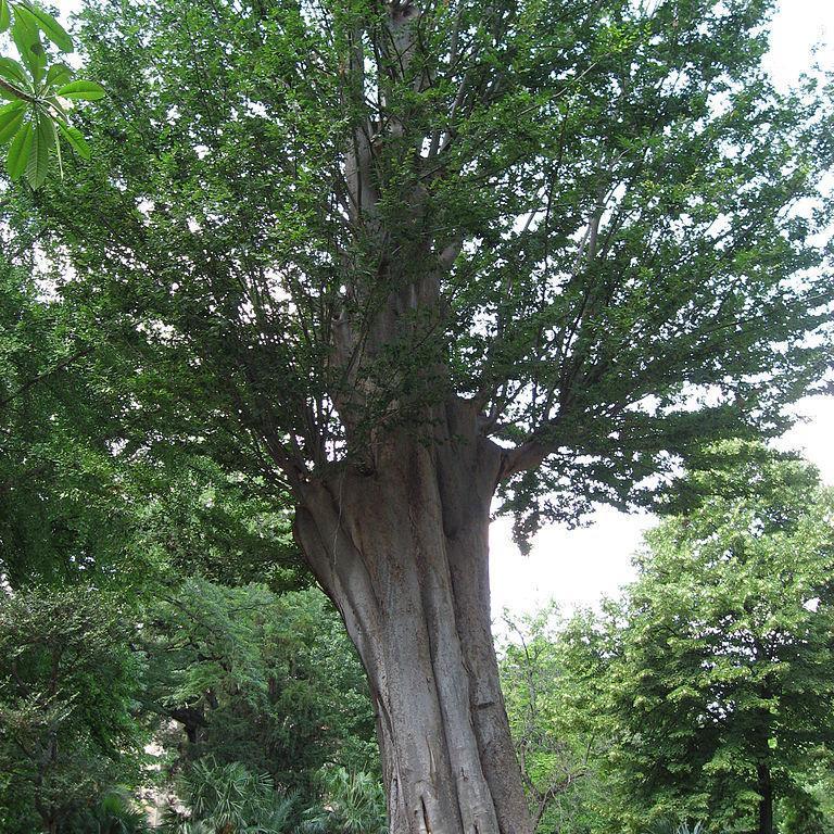 Faux orme de Sibérie, orme du Caucase (Zelkova carpinifolia, syn. Z.crenata) Espèce type
