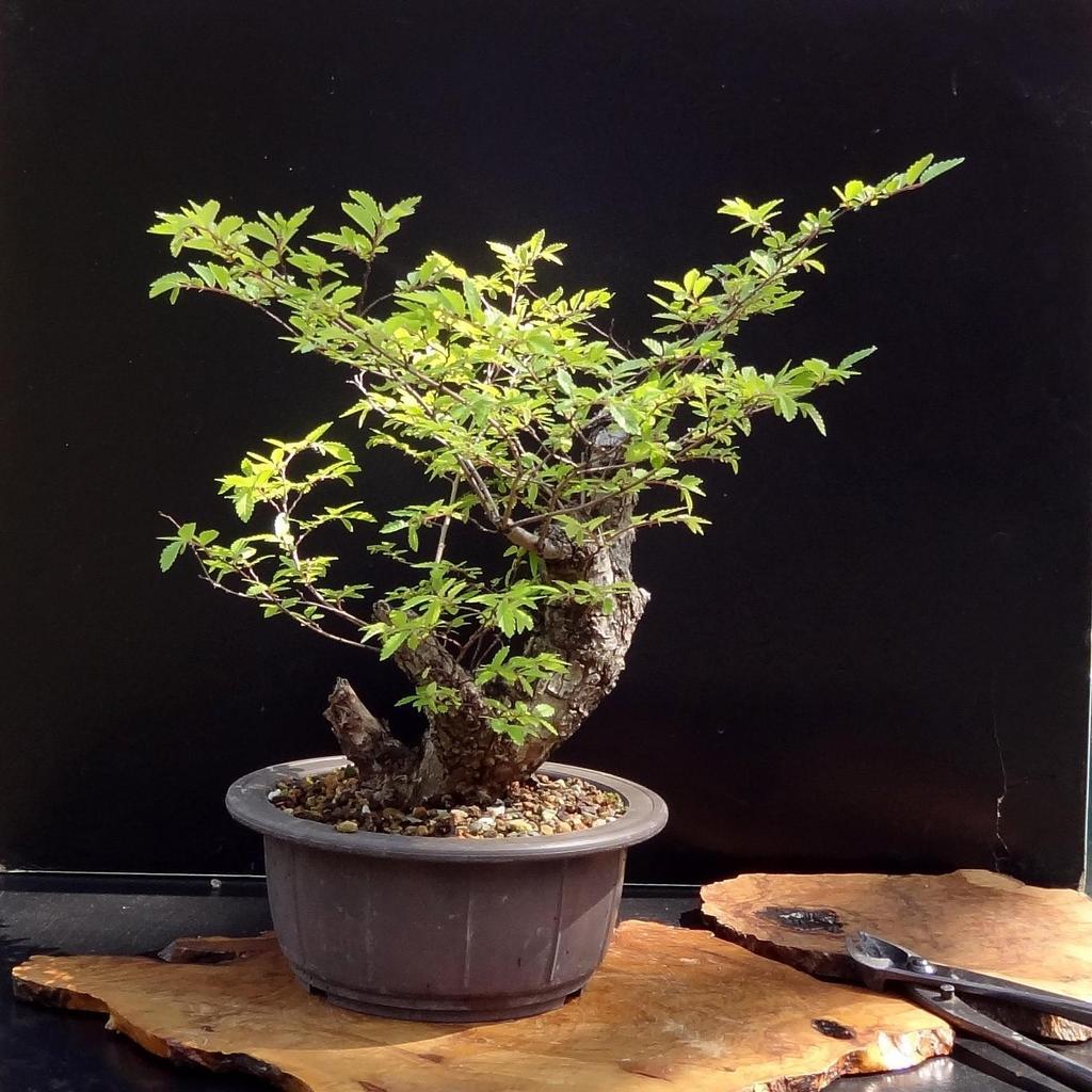 Zelkova du Japon, keaki, orme du Japon (Zelkova serrata) 'Nire' (syn. 'Aki Nire')
