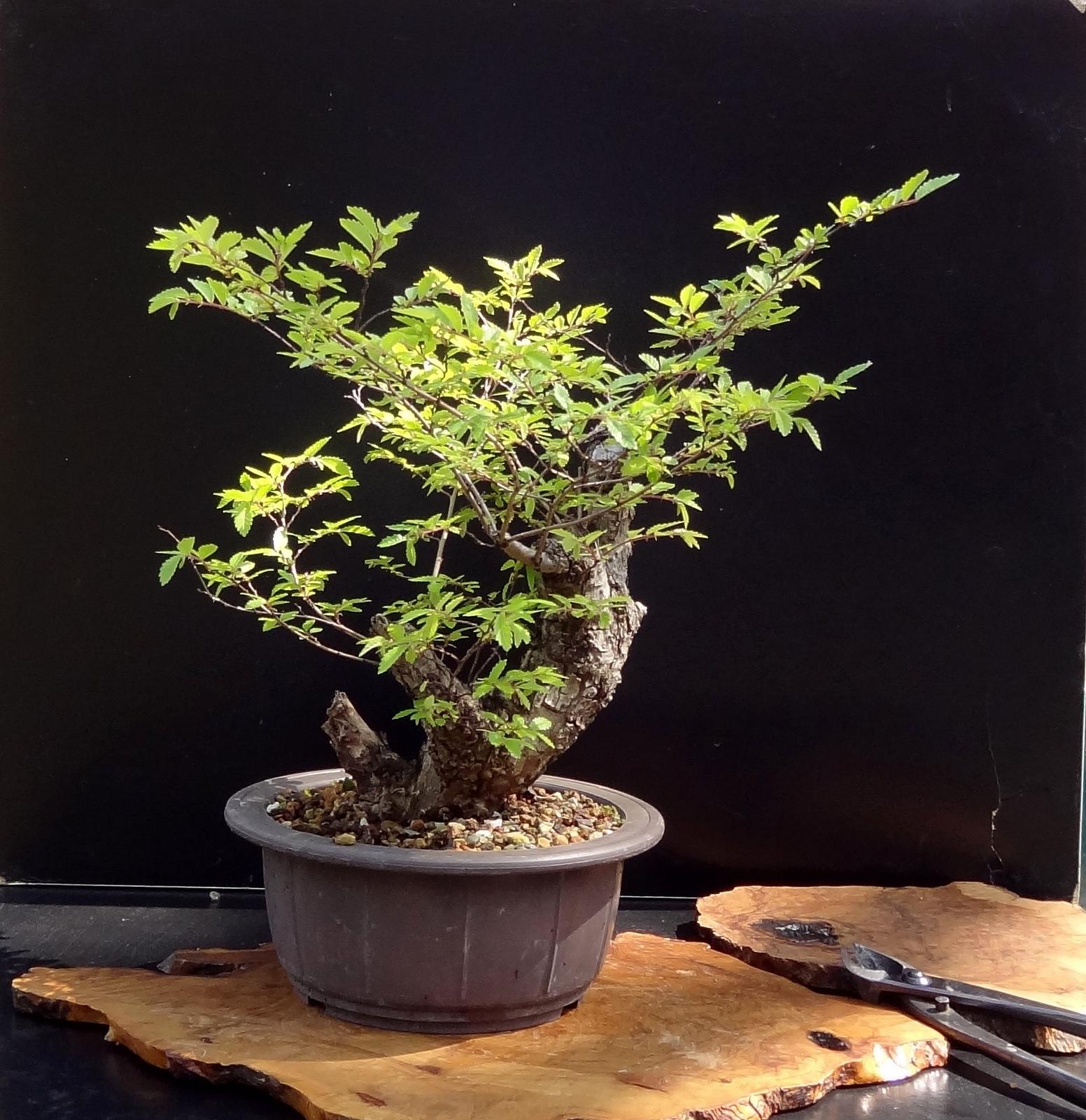 zelkova : planter et cultiver – ooreka