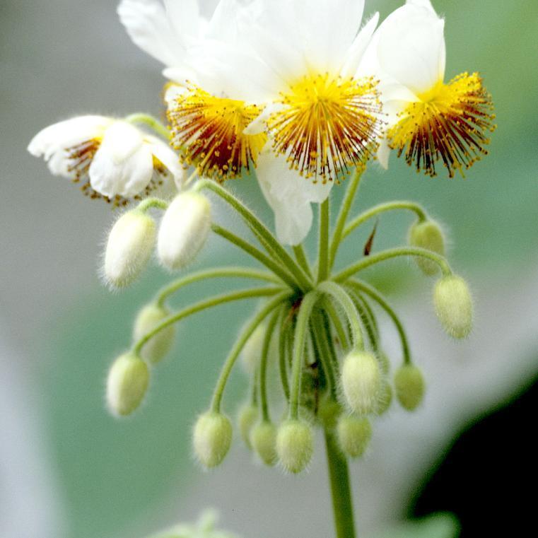 Sparmannia africana Espèce type