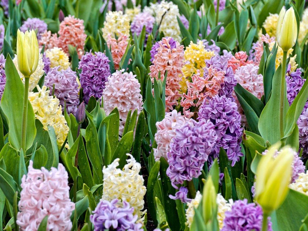 Quelle Plante Mettre Dans Un Grand Pot Exterieur jacinthe : planter et entretenir – ooreka