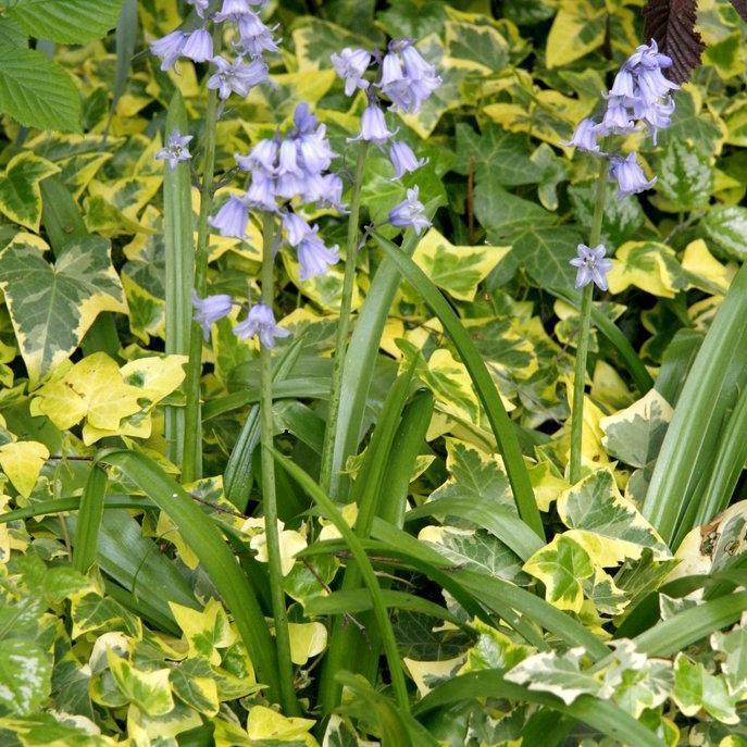Jacinthe sauvage Jacinthe des bois (Hyacinthoides non-scripta)