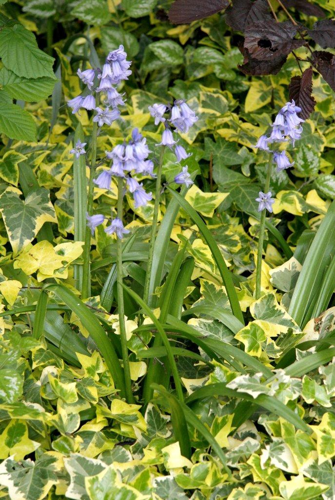 Plante voisine de la jacinthe 7 lettres