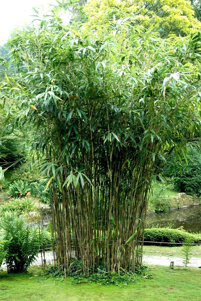 phyllostachys   planter et cultiver  u2013 ooreka