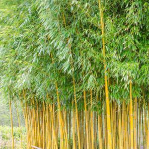 Bambou jaune (Phyllostachys aureosulcata) 'Spectabilis'