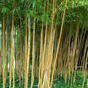 Bambou jaune (Phyllostachys aureosulcata) 'Aureocaulis'