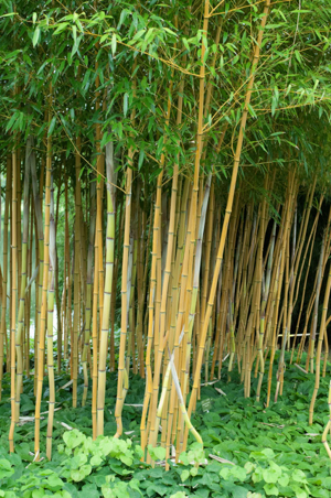 phyllostachys : planter et cultiver – ooreka