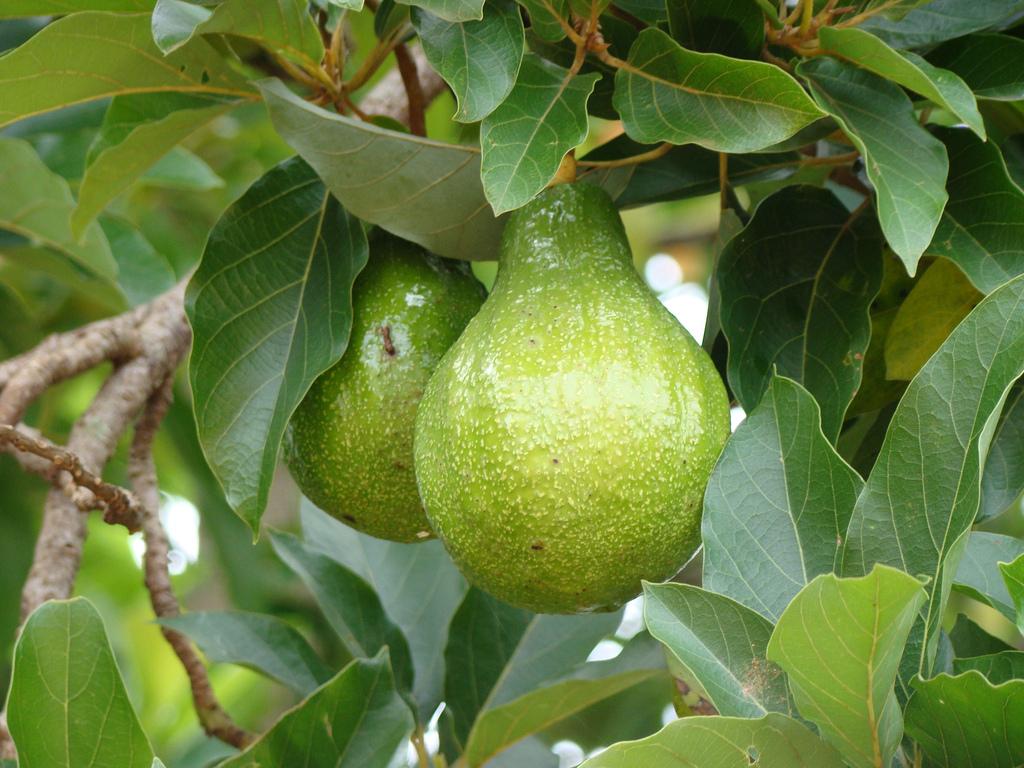 Comment Pousse Les Avocats avocatier : planter et tailler – ooreka