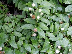 Multiplication du <em>Cephalanthus occidentalis</em>