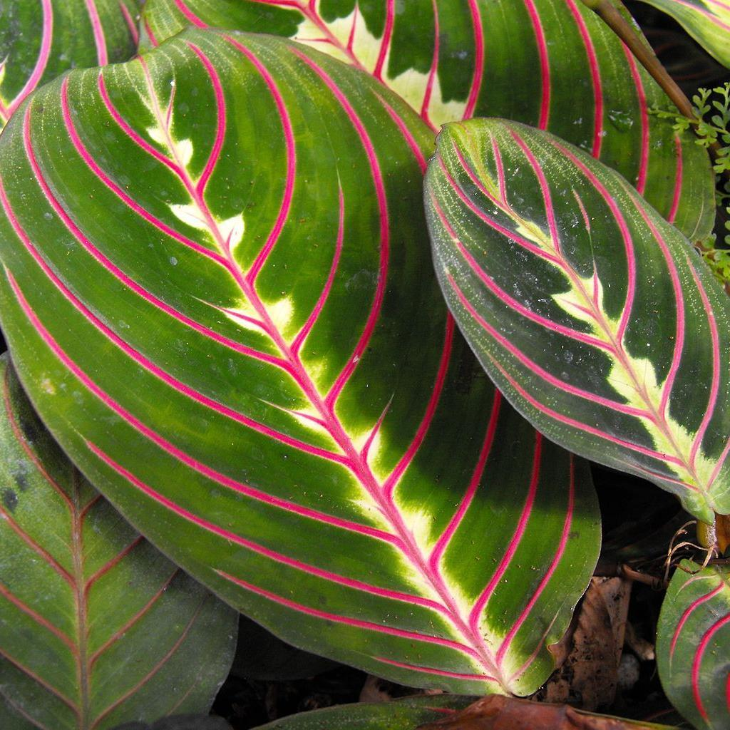 Maranta leuconeura 'Erythroneura' ou 'Tricolor'