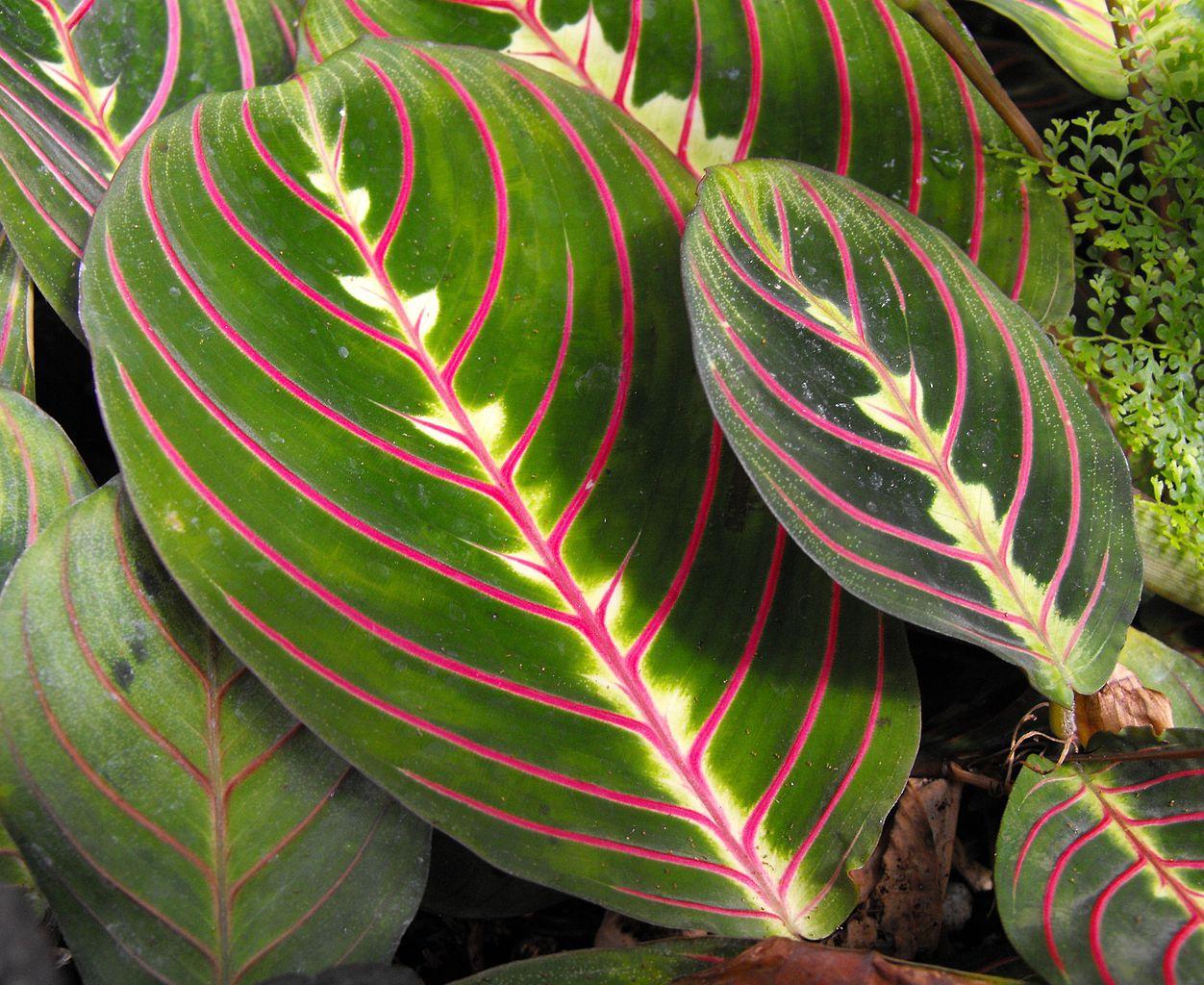 maranta   planter et cultiver  u2013 ooreka