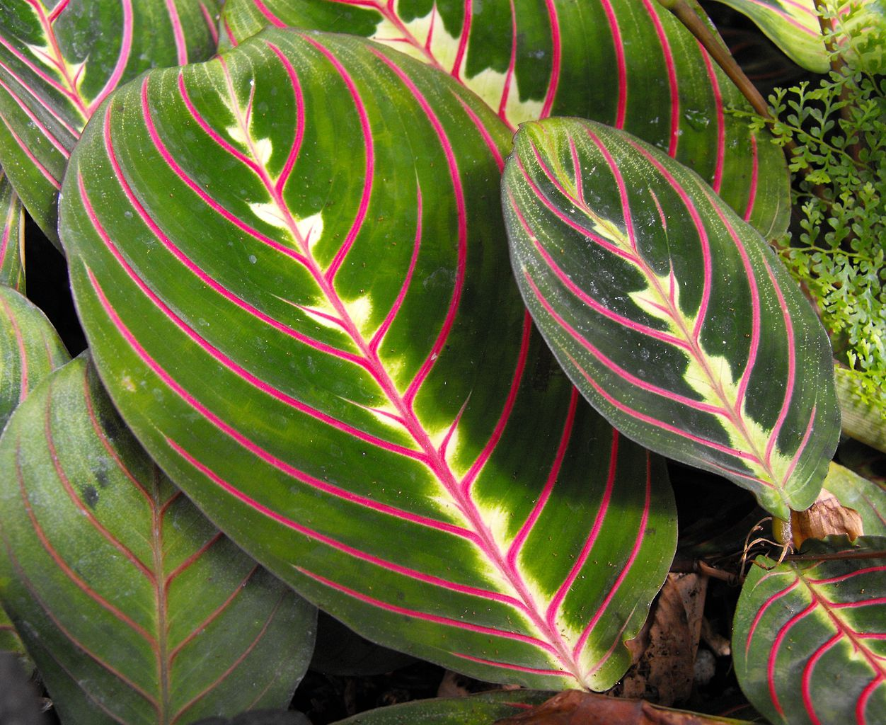 Maranta planter et cultiver ooreka for Plante lumineuse