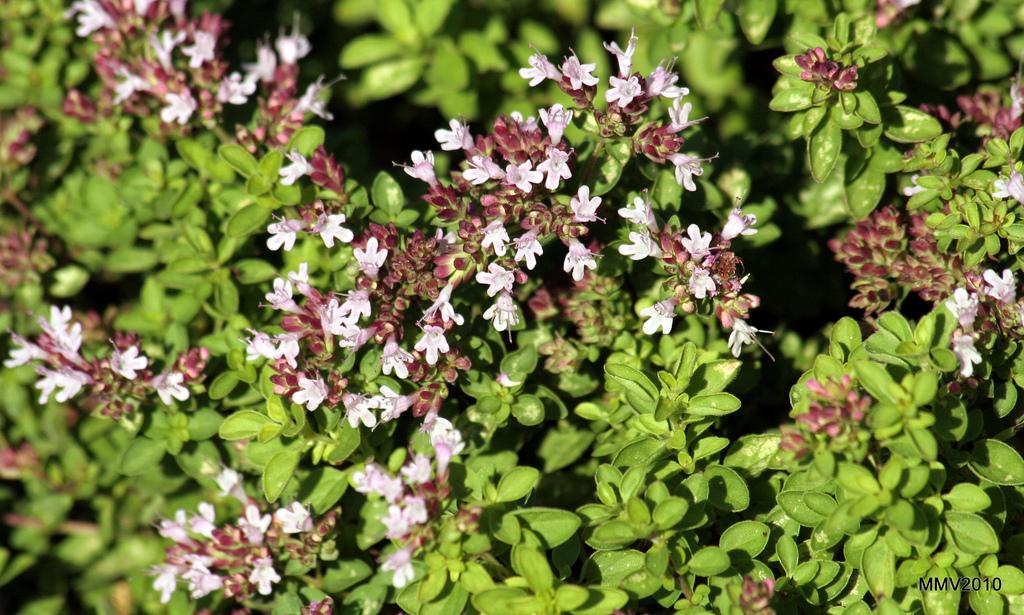 Marjolaine planter et cultiver ooreka - Par quoi remplacer l origan ...