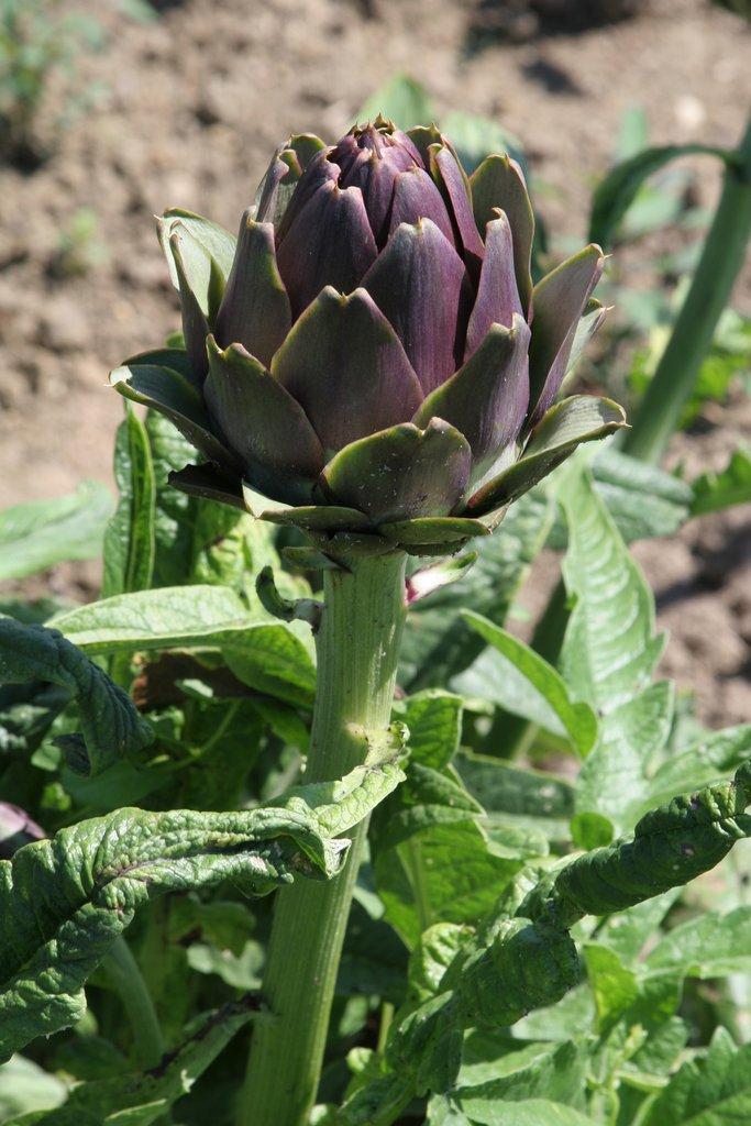 Artichaut : planter et cultiver - Ooreka