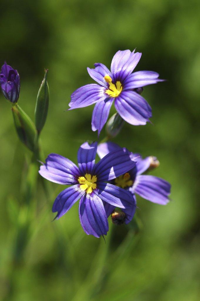 Sisyrinchium angustifolium-blue eyed grass-vivace x 50 graines