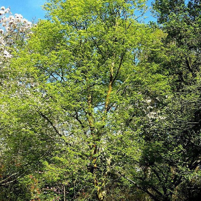 Variétés non argentées de taille moyenne Tilleul de Mongolie (Tilia mongolica)