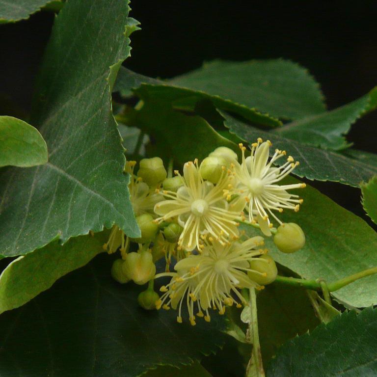 Variétés à feuilles non argentées de grande taille Tilleul des bois ou d'Europe (Tilia cordata)