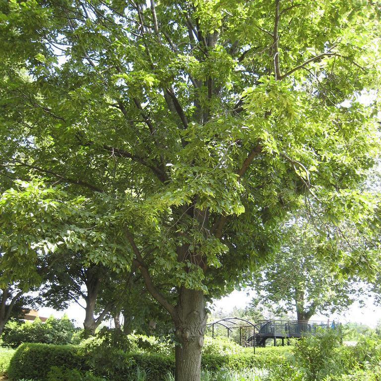 Variétés argentées Tilleul du Caucase (Tilia x euchlora)